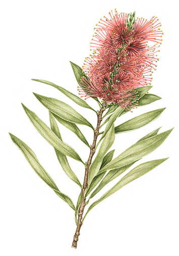 Callistemon splendens Bottle Brush