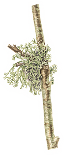 Evernia prunastri Oak Moss / Lichen
